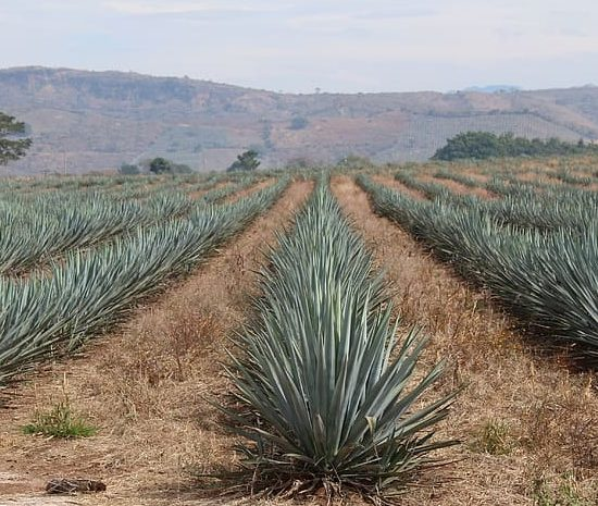 Tequila plant, agave, field
