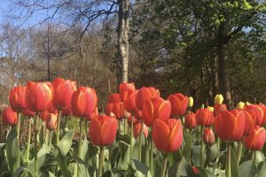Tulips in bloom at Bute Park