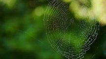 Spider silk for biomaterials