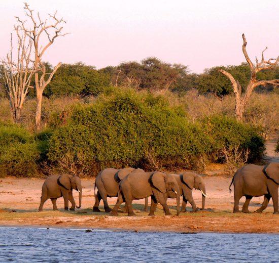 elephants drinking water in Botswana