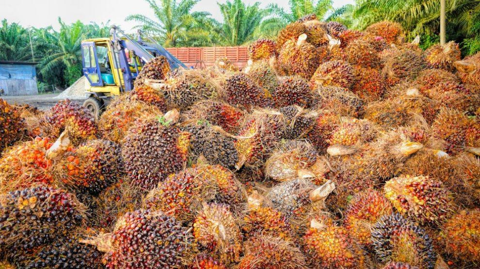 palm oil crop