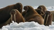 walrus counting